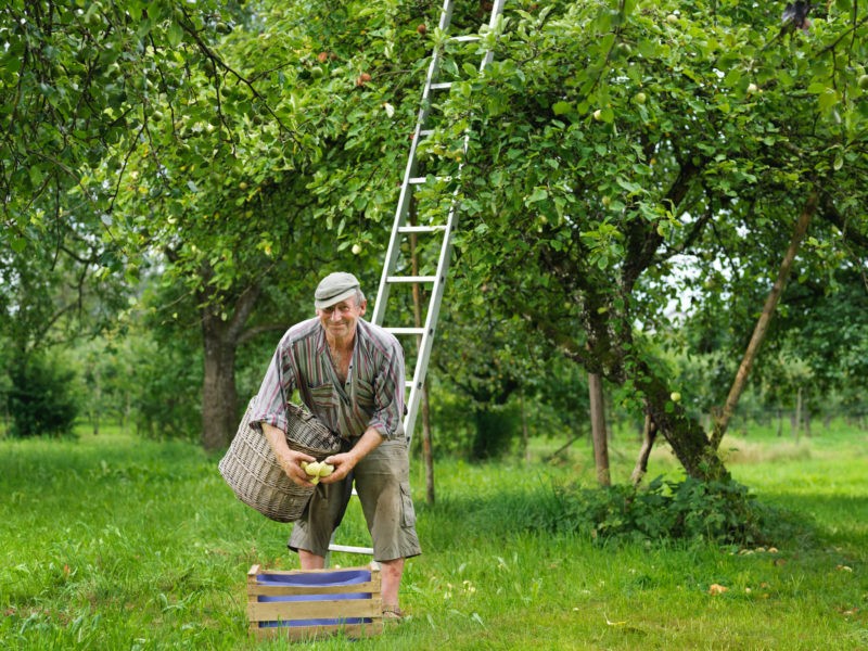 Employees photography: Workers Portrait: Apple farmer picks apples under an apple tree.
