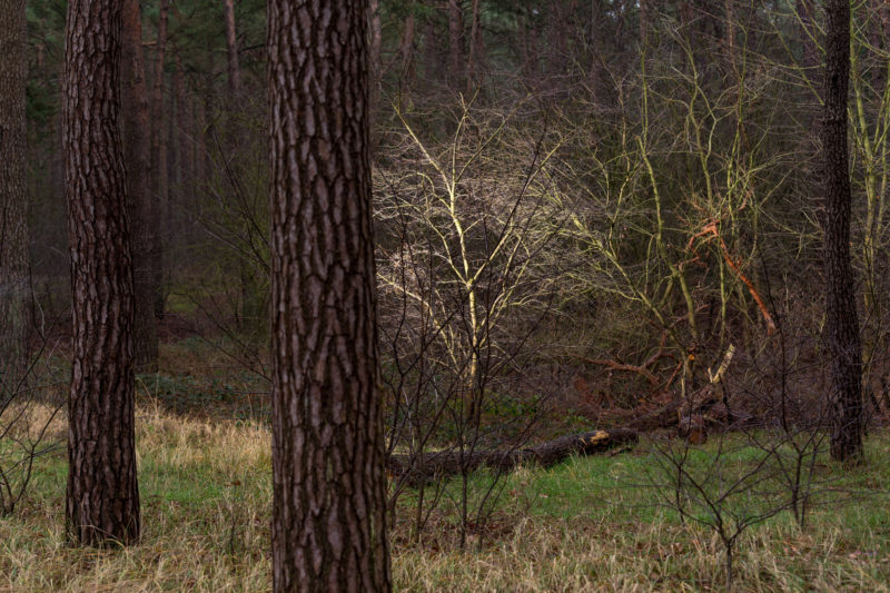 Landscape photography at the Baltic Sea coast: In the winterly forest landscape a small tree shines between the large tree trunks surrounding it.