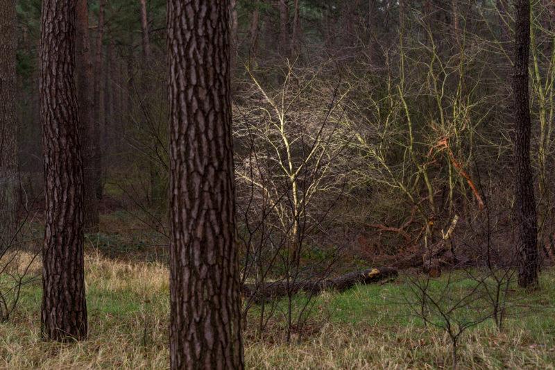 Landschaftsfotografie  an der Ostseeküste: In der winterlichen Waldlandschaft leuchtet ein kleiner Baum zwischen den ihn umgebenden großen Baumstämmen.