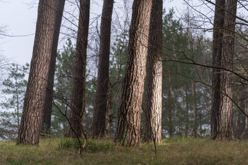 Landscape photography at the Baltic Sea coast: tree trunks in oblique light in the evening, which emphasizes the bark structure. In the foreground the green of the grasses on the ground.