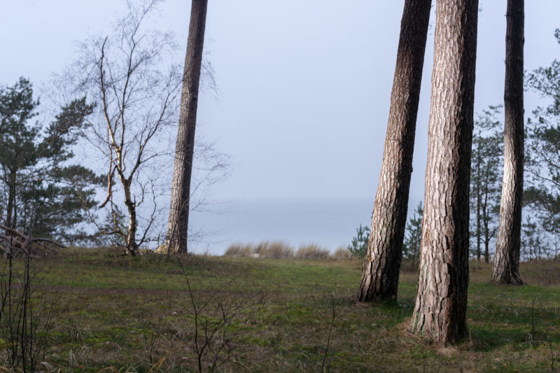 Landscape photography on the Baltic Sea coast: The bark of several straight tree trunks glows in oblique incident light. In the background you can see dune grass and the water of the Baltic Sea.
