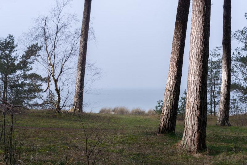 Landschaftsfotografie  an der Ostseeküste: In schräg auftreffendem Licht leuchtet die Rinde mehrerer gerade gewachsener Baumstämme. Im Hintergrund sieht man Dünengras und das Wasser der Ostsee.