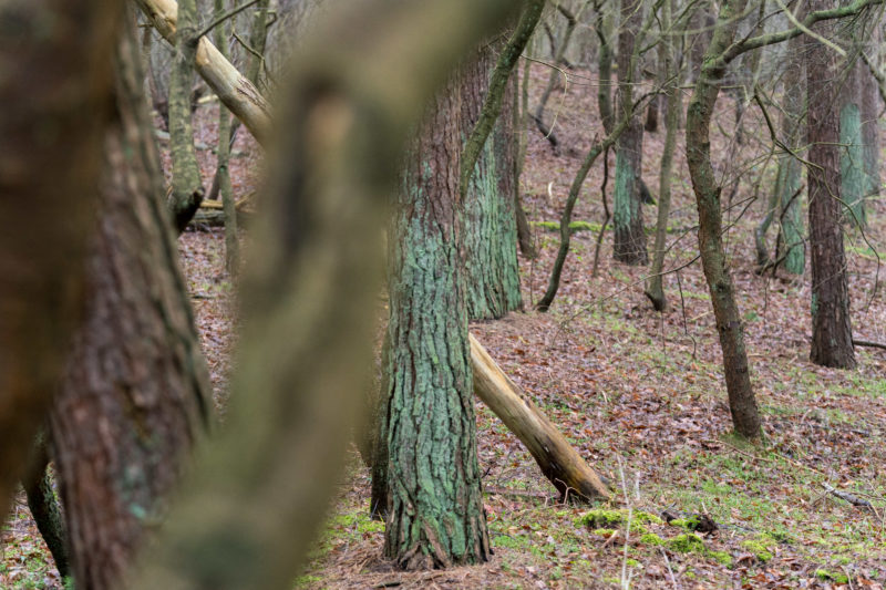 Landscape photography at the Baltic Sea coast: green mossy and naked brown tree trunks alternate. Some trees in the foreground are only blurred.
