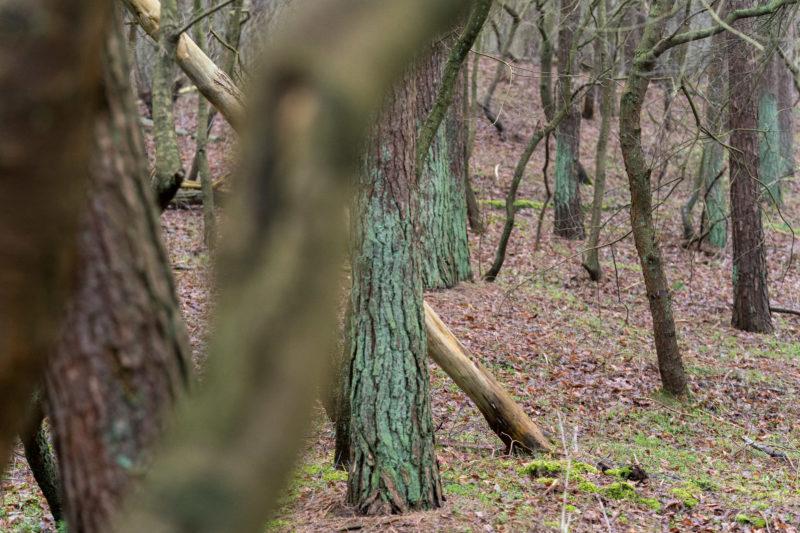 Landschaftsfotografie  an der Ostseeküste: Grün bemooste und nackte braune Baumstämme wechseln sich ab. Manche Bäume im Vordergrund sind nur unscharf angedeutet.