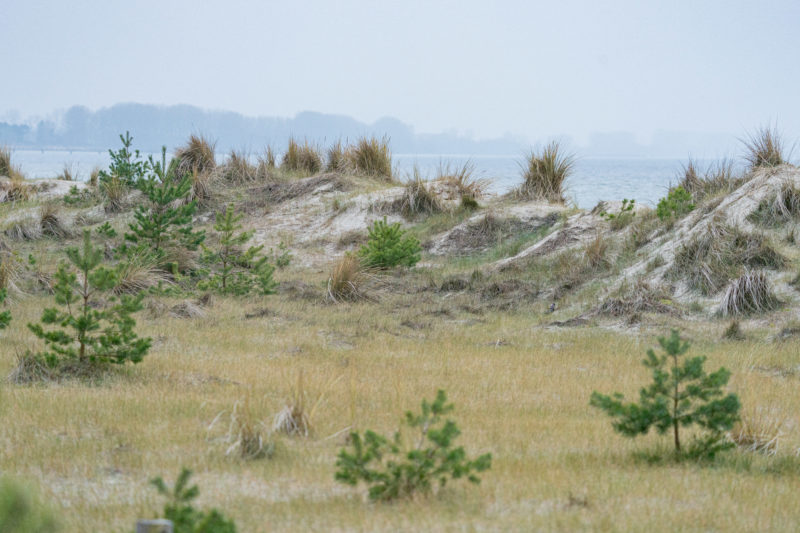Landscape photography at the Baltic Sea coast: A strip of dunes with the Baltic Sea behind it. Young conifers grow between grasses and sand.