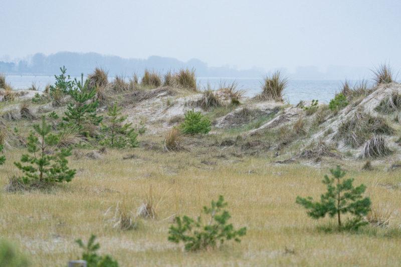 Landschaftsfotografie  an der Ostseeküste: Ein Dünenstreifen mit der dahinterliegenden Ostsee. Zwischen Gräsern und Sand wachsen junge Nadelbäume.