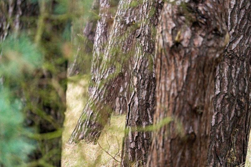 Landschaftsfotografie  an der Ostseeküste: Durchblick durch zwei Baumstämme auf eine Reihe weiterer roter Pinien.
