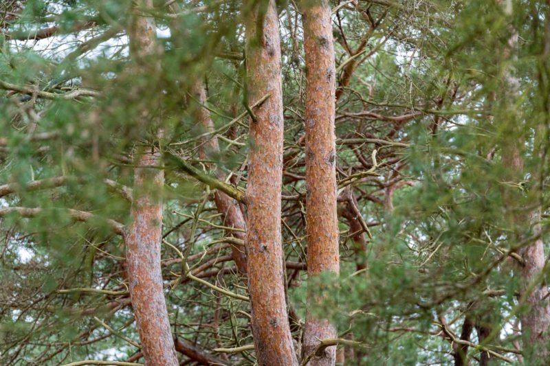 Landscape photography on the Baltic Sea coast: thicket of red trunks and green branches of pine trees.