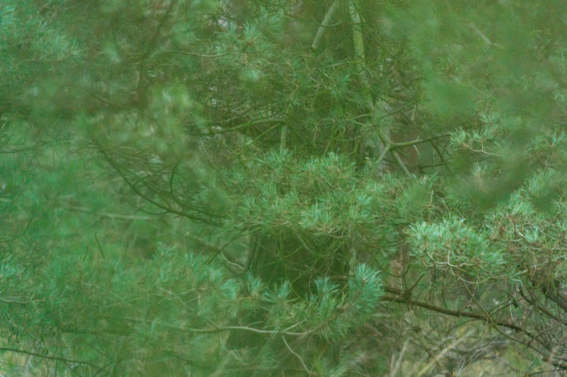 Landscape photography on the Baltic Sea coast: Pine branches create a dense green.