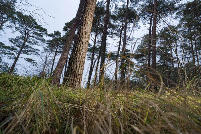 Landschaftsfotografie  an der Ostseeküste: Ein Waldstück dicht am Strand. Im Vordergrund das grüne Gras, das am Übergang zur Düne wächst.
