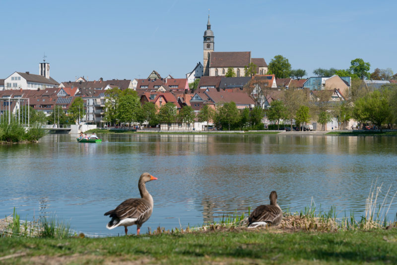 Landscape photogaphy: Geese on the shore of a lake in a medium-sized Swabian town. On the water you can see pedal boat drivers. In the background houses and a church.