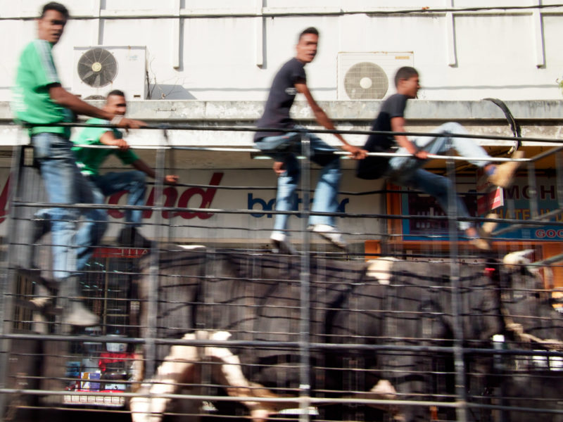 travel photography: A cow is transported standing on a truck through a small town. It is accompanied by young people sitting on the metal grating of the loading area.