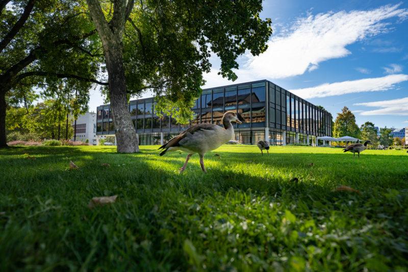 Stadtportrait Stuttgart: Eine Gans und Enten auf der grünen Wiese, die in Stuttgart Stadtmitte den baden-württembergischen Landtag umgibt. Weiße Wolken vor blauem Himmel ergänzen das romantische Foto.