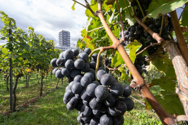 Portrait of Stuttgart: Dark grapes hang from the vines of a vineyard near the Pragsattel, one of the most important road crossings in Stuttgart. In the background a modern residential building.