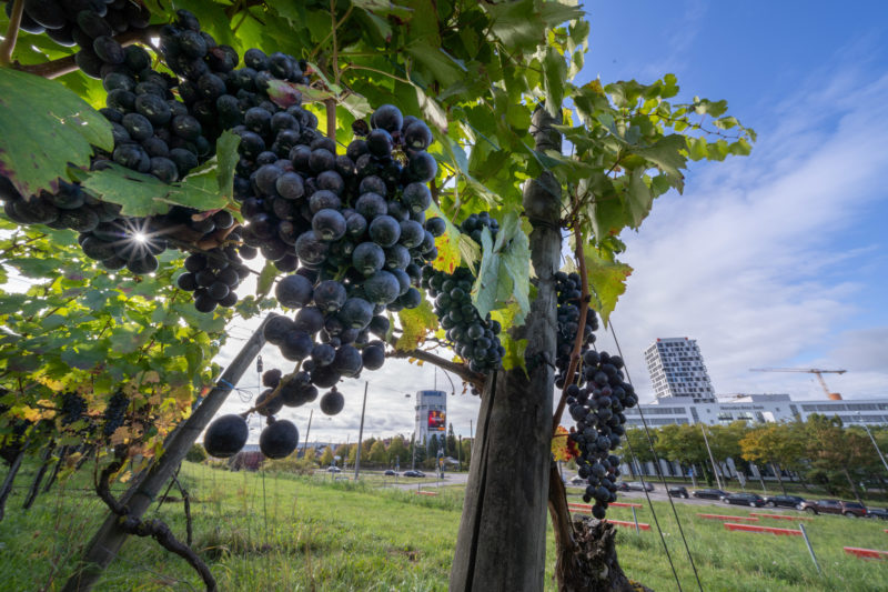 Stadtportrait Stuttgart: On the Pragsattel, the grapes hang directly on the busy main road leading to the city centre. Besides the crossroads, you can also see the former high bunker and a modern high-rise residential building.