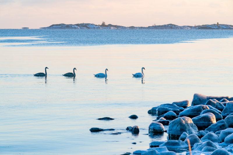 Landschaftsfotografie: Winter in Finnland: Vier Schwäne schwimmen in einer Kette hintereinander im kalten Wasser der Ostsee. Im Vordergrund eisbedeckte Felsen.